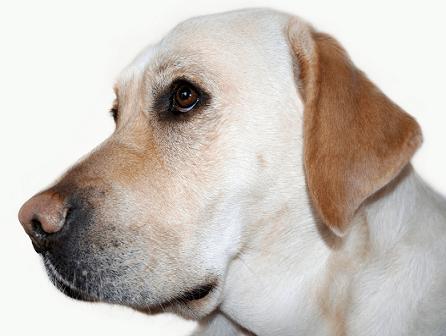 El olfato canino para detectar enfermedades