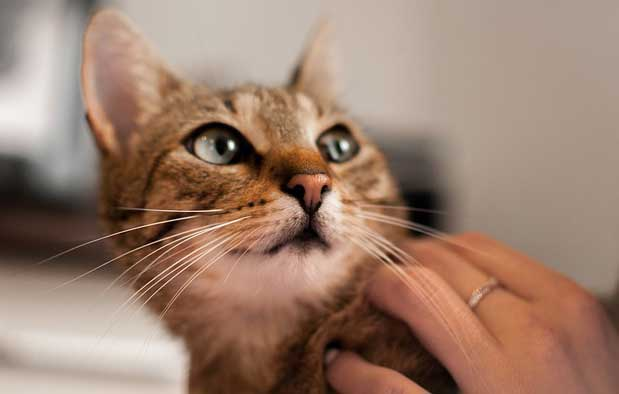 adiestramiento-felino-gato