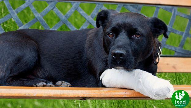 perro-herida-primeros-auxilios