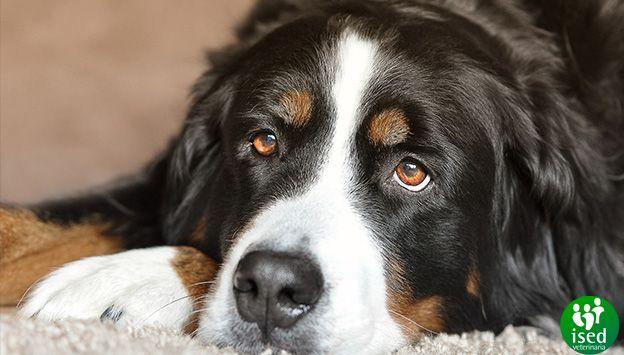 convivencia-perro-grande-piso-pequeno